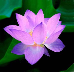 fiore di loto yoga